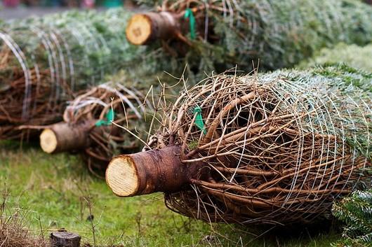 zabaleny stromek